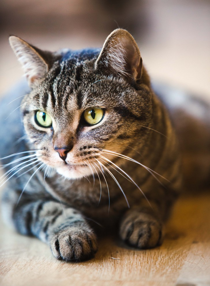 Cat , 6 Cute Pictures Of Tabby Cats : Tabby Cat Images