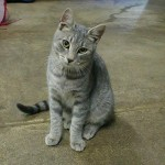 Tabby Cats , 6 Cute Pictures Of Tabby Cats In Cat Category