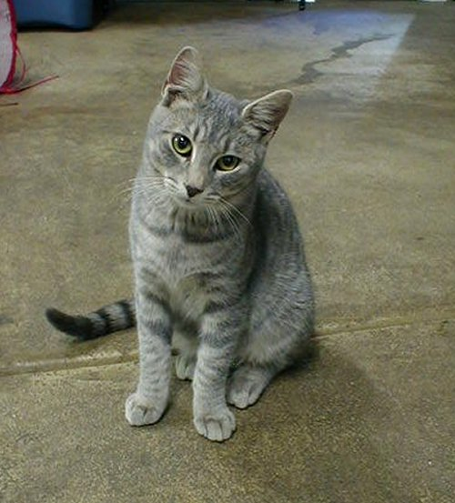 Cat , 6 Cute Pictures Of Tabby Cats : Tabby Cats