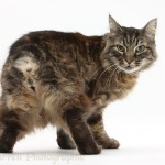 Tabby Manx , 8 Beautiful Pictures Of Manx Cats In Cat Category