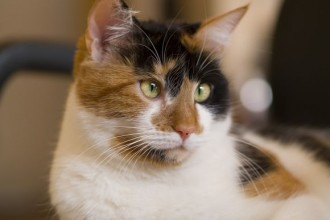 The Calico Cat , 7 Awesome Calico Cat Pictures In Cat Category