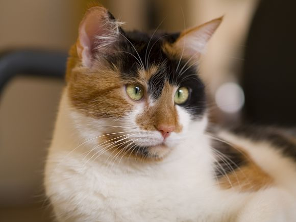 Cat , 7 Awesome Calico Cat Pictures : The Calico Cat