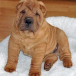 The Shar Pei , 7 Cute Pictures Of Shar Pei Dogs In Dog Category