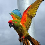 The red fronted macaw , 7 Cool Red Fronted Macaw In Birds Category