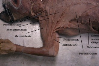 Thorax And Forelimb , 7 Amazing Cat Muscle Dissection Pictures In Cat Category