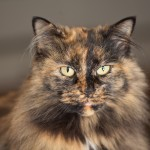 Tortoiseshell Cat , 5 Wonderful Tortoiseshell Cat Pictures In Cat Category