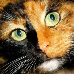Tortoiseshell Cat Face , 5 Wonderful Tortoiseshell Cat Pictures In Cat Category