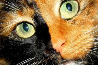 Tortoiseshell Cat Face , 5 Wonderful Tortoiseshell Cat Pictures In Cat Category