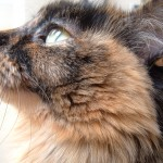 Tortoiseshell Cats , 5 Wonderful Tortoiseshell Cat Pictures In Cat Category