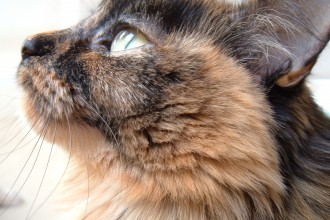 Tortoiseshell Cats in Scientific data