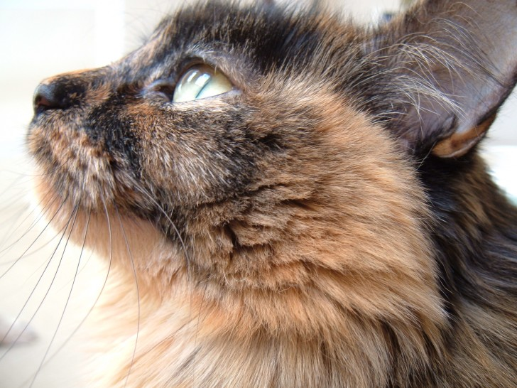 Cat , 5 Wonderful Tortoiseshell Cat Pictures : Tortoiseshell Cats