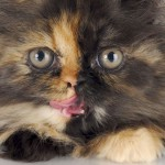 Tortoiseshell Cats Black , 5 Wonderful Tortoiseshell Cat Pictures In Cat Category