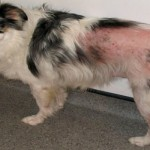 Treat Flea Bites on Dogs , 7 Hottest Pictures Of Fleas On Dogs In Dog Category