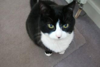 Tuxedo Cat in Cat