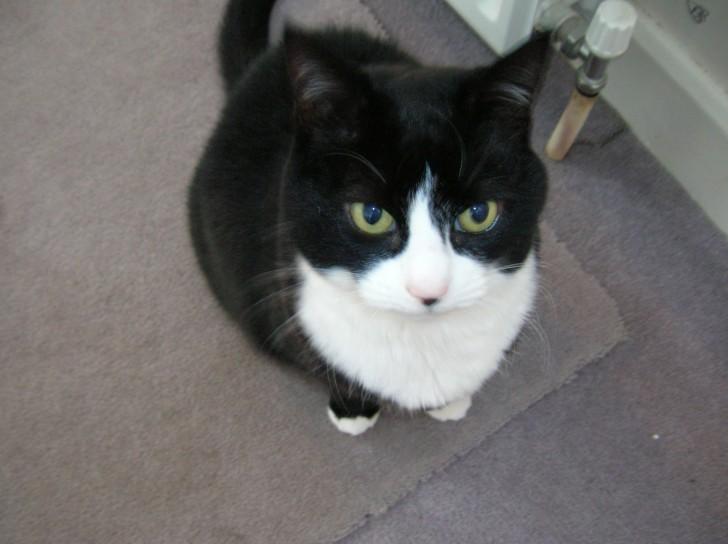 Cat , 7 Gorgeous Tuxedo Cat Pictures : Tuxedo Cat