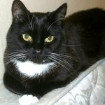 Tuxedo Cat Image , 7 Gorgeous Tuxedo Cat Pictures In Cat Category
