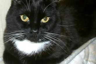 Tuxedo Cat Image , 7 Gorgeous Tuxedo Cat Pictures In Cat Category