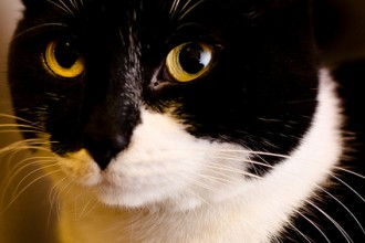 Cat , 6 Charming Pictures Of Tuxedo Cats : Tuxedo Cat