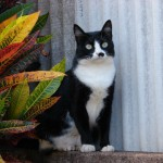 Tuxedo cats , 6 Charming Pictures Of Tuxedo Cats In Cat Category