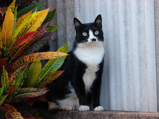 Cat , 6 Charming Pictures Of Tuxedo Cats : Tuxedo Cats