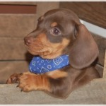 Weiner Dog , 8 Fabulous Funny Weiner Dog Pictures In Dog Category