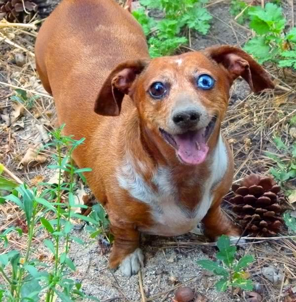 Dog , 8 Fabulous Funny Weiner Dog Pictures : Weiner Dogs
