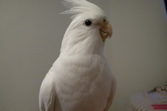 White Albino Cockatiel in Dog