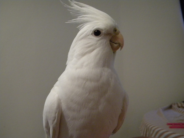 White Albino Cockatiel