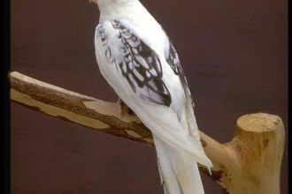 White Faced Cockatiel in Butterfly