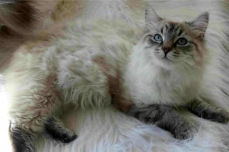 White Siberian Cat , 8 Nice Siberian Cat Pictures In Cat Category