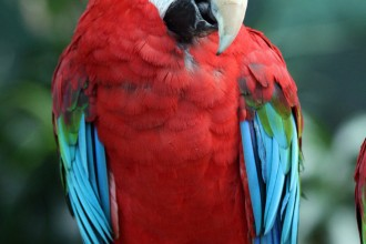 Wing Macaw , 9 Beautiful Green Wing Macaw In Birds Category