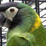 Yellow Collared Macaw , 7 Gorgeous Yellow Collared Macaw In Birds Category