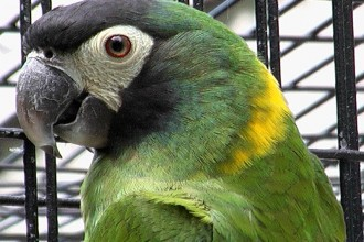 Yellow Collared Macaw in Cell