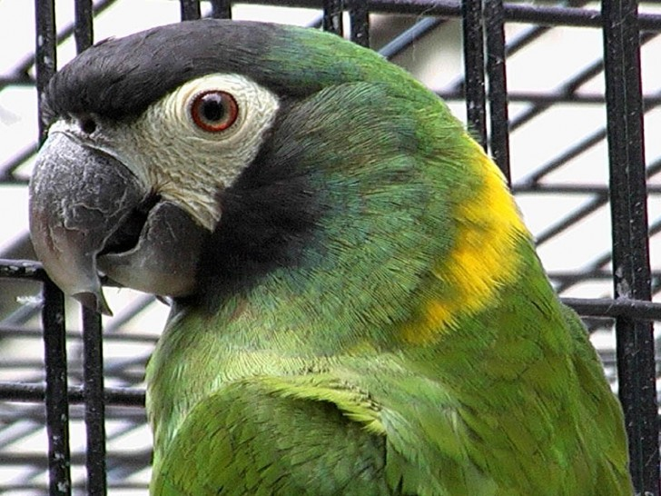 Birds , 7 Gorgeous Yellow Collared Macaw : Yellow Collared Macaw