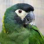 Yellow Parrot Macaw , 7 Gorgeous Yellow Collared Macaw In Birds Category
