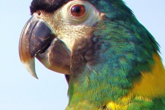 Yellow Collared Mini Macaw , 7 Gorgeous Yellow Collared Macaw In Birds Category