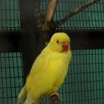 Yellow indian ringneck parakeet , 8 Nice Indian Ringneck Parrot In Birds Category