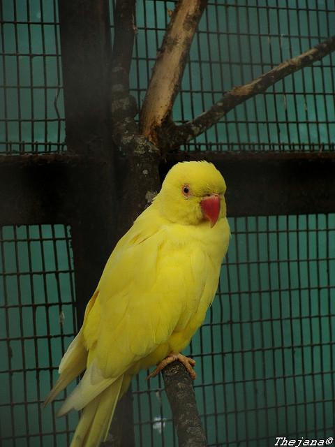 Birds , 8 Nice Indian Ringneck Parrot : Yellow Indian Ringneck Parakeet