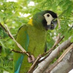 Yellow naped Macaw , 7 Gorgeous Yellow Collared Macaw In Birds Category