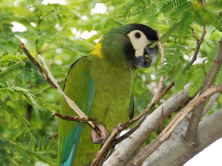 Birds , 7 Gorgeous Yellow Collared Macaw : Yellow Naped Macaw