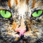 adopt a cat , 6 Unique Pictures Of Tortoiseshell Cats In Cat Category