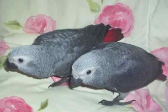 African Gray Parrot , 7 Cute Baby African Grey Parrot In Birds Category