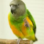 african grey , 7 Beautiful Senegal Parrot In Birds Category