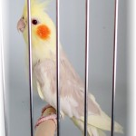 african grey parrot , 7 Good Cockatiel Cottage In Birds Category