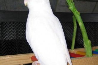 Albino , 7 Amazing Albino Cockatiel In Birds Category