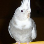 albino cockatiel Bird , 7 Amazing Albino Cockatiel In Birds Category