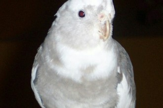Albino Cockatiel Bird , 7 Amazing Albino Cockatiel In Birds Category