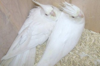 albino cockatiel breeding in Butterfly