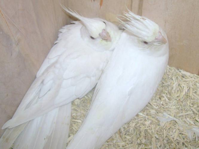 Birds , 7 Cute Breeding Cockatiels : Albino Cockatiel Breeding