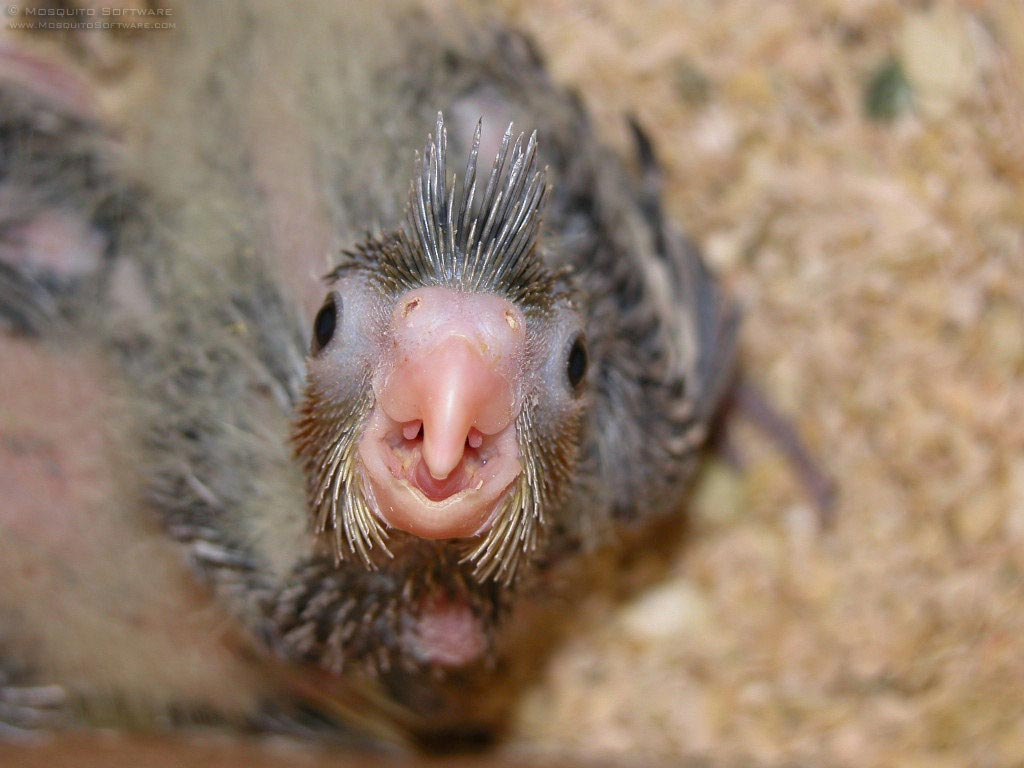 baby cockatiels picture